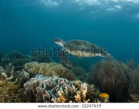 A Green Sea Turtle (Chelonia mydas) swims along a Philippine reef with the ripples from the ocean surface above - stock photo