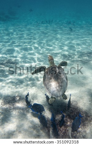 A green sea turtle in the tropical waters of Bonaire in the Caribbean