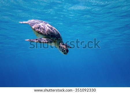 A Green sea turtle swimming in the blue waters of Bonaire in the Caribbean