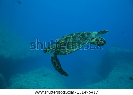 A Green Sea Turtle swims among boulders in the Philippine Sea