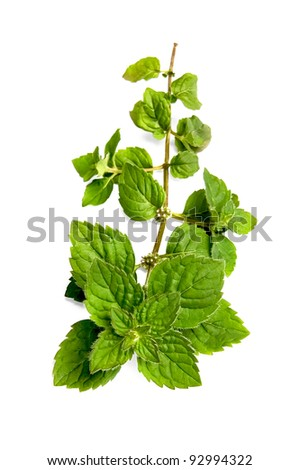 A green sprig of mint with flowers isolated on white background - stock photo