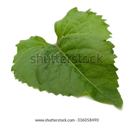 A green sunflower leaf - stock photo