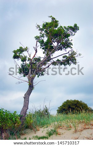 A green tree bends to the ground, sand beach dunes, blue sky background. Baltic spit.