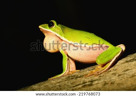 A green tree frog balloon muster tweet in the forest,Taiwan,Asia