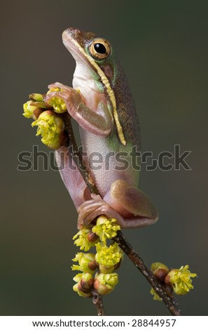 A green tree frog is perched high on a branch of budding flowers.