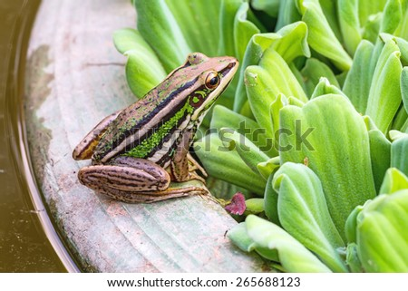 A green tree frog sitting on a tub and Water lettuce