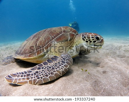 A Green turtle (Chelonia mydas) eating on the sandy bottom of a beautiful shallow lagoon, with a silhouette of a diver nehind. Red Sea, Marsa Alam. - stock photo