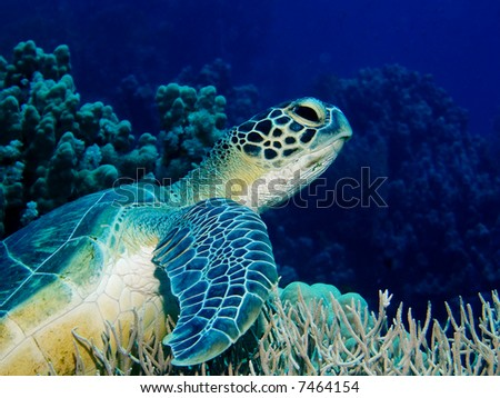 A Green Turtle sitting on a coral reef in the red Sea, Egypt - stock photo