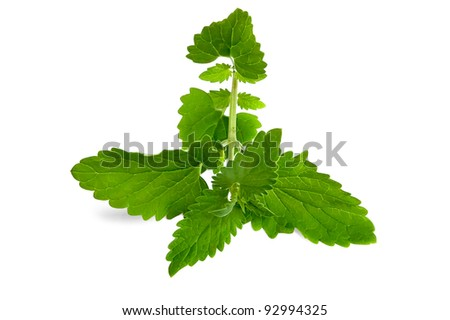 A green twig melissa isolated on a white backgroun