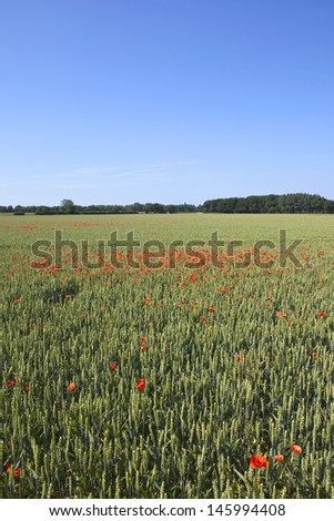 a green wheat field with scarlet poppies trees and hedgerows under a clear blue sky in summer - stock photo