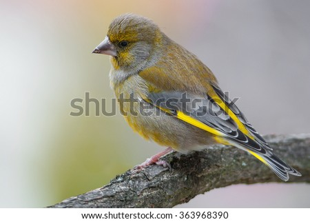 A greenfinch on a branch - stock photo