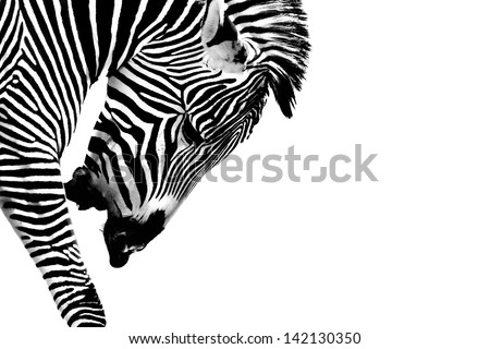 A Grevy's Zebra (Equus grevyi) presented in high key Black and White.  Head is down and he is calling out. Space for copy. - stock photo