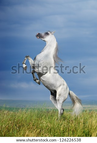A grey arabian horse rearing - stock photo