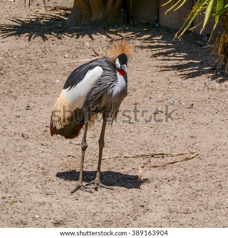 A grey crowned Crane, of which there are some 6,000 in Southern Africa