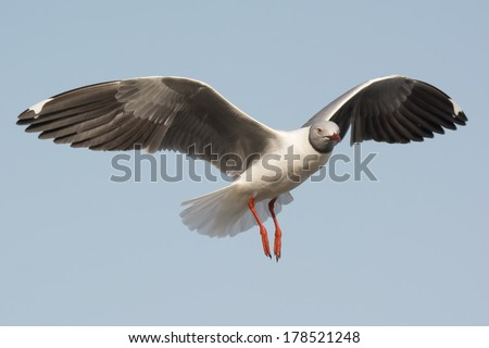 A Grey-Headed Gull (Larus cirrocephalus) floating gently on the wind - stock photo