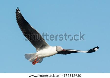 A Grey-Headed Gull (Larus cirrocephalus) in flight - stock photo