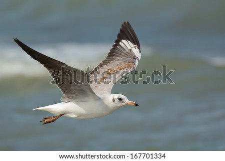 A Grey-Headed Gull (Larus cirrocephalus) soaring over the water - stock photo
