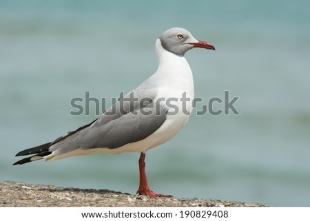 A Grey-Headed Gull (Larus cirrocephalus) standing in profile - stock photo