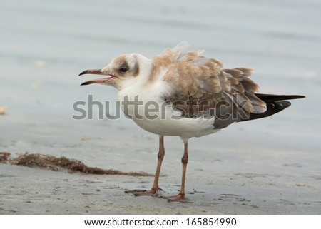 A Grey-Headed Gull (Larus cirrocephalus) with feathers ruffled standing on the beach - stock photo