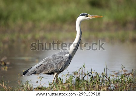 A Grey Heron fishing in water next to a lily (Ardea cinerea)