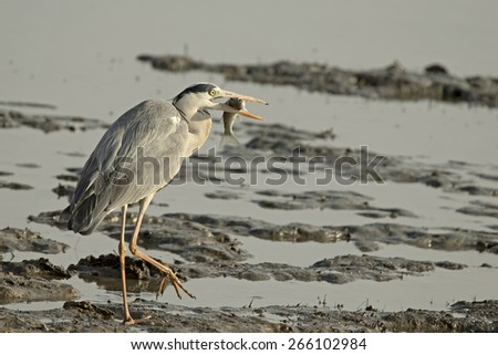 A Grey Heron holding a large fish that just caught - stock photo