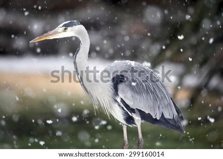 A Grey Heron in snow fall (Ardea cinerea) - stock photo