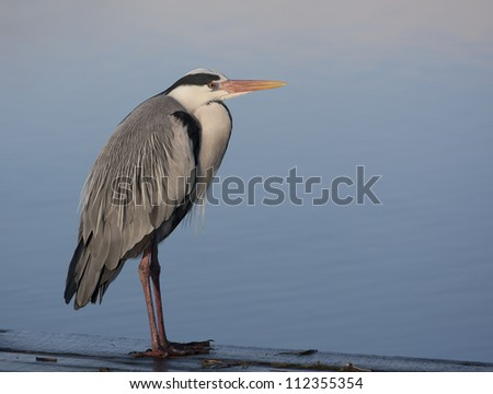 A grey Heron on a pier watching for the morning catch