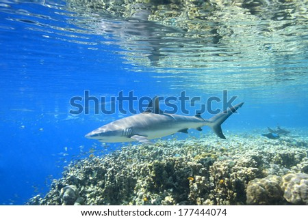 A Grey Reef Shark, Carcharhinus amblyrhynchos, swimming over coral reef with reflections on the surface. Uepi, Solomon Islands. Solomon Sea, Pacific Ocean - stock photo