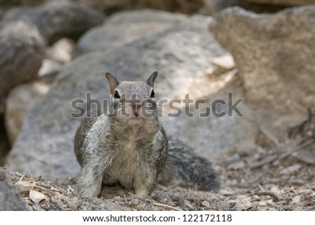 A grey squirrel looking at you while portrait on the rock background