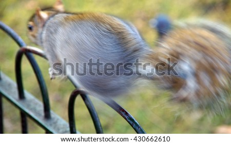 A grey squirrel quickly running away, along a metal fence in St James' Park, London, England, UK (Britain).  A moving squirrel, bushy tail.  A squirrel escaping. - stock photo