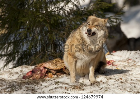 A grey wolf isolated in the snow while eating and looking at you - stock photo