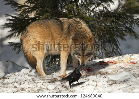 A grey wolf isolated in the snow while looking at black raven - stock photo