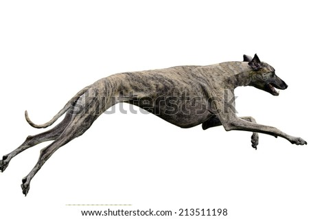 A greyhound lure coursing at full speed during the final championships. France - stock photo
