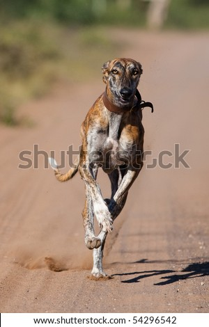 A greyhound with a collar running full speed at the camera at eye level - stock photo