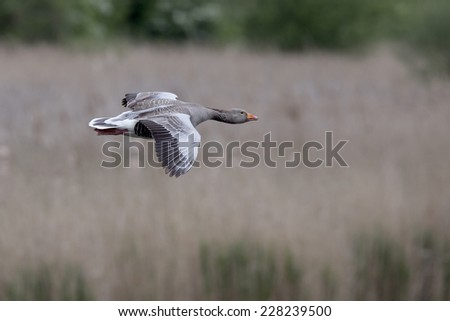 A Greylag Goose flying into the mere at Fowlmere RSPB Reserve, Cambridgeshire, England, UK. - stock photo