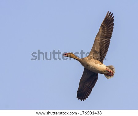 A Greylag Goose in flight with full wing expand - stock photo
