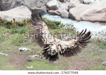 A griffon vulture takes flight in the Indian Himalayas. - stock photo