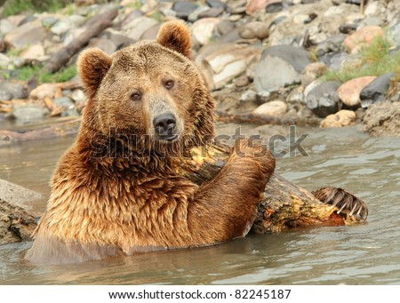A Grizzly Bear - stock photo
