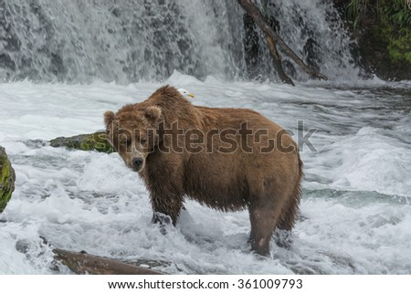 A grizzly bear catches salmon in the shallow waters at the base of a waterfall during the annual salmon run - Brook Falls - Alaska