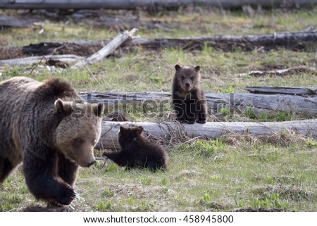 A grizzly bear cub of the year watches its mother and sibling.