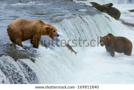 A grizzly bear hunting salmon at Brooks falls. Coastal Brown Grizzly Bears fishing at Katmai National Park, Alaska.  , Katmai National Park, Alaska. - stock photo