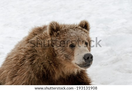 A Grizzly Bear snoozes while sitting up in the Alaskan spring snow.