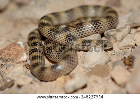 A ground snake photographed in western Texas. Sonora semiannulata is a highly variable species. - stock photo