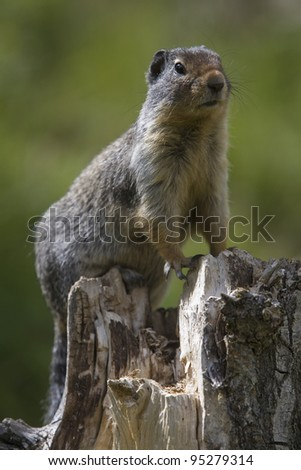 A ground squirrel on tree stump in Banff National Park. - stock photo
