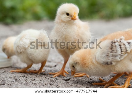 A group chick at farm.