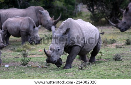 A group/crash of rhino in this unique image