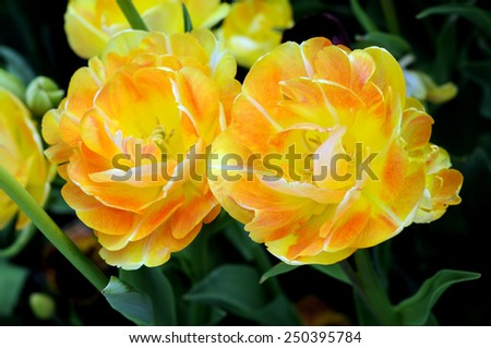 a group double bloom tulips in garden  - stock photo