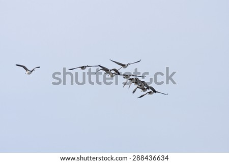 A group, flock of Canadian Geese, Branta canadensis flies on the blue sky. Early morning in spring. - stock photo