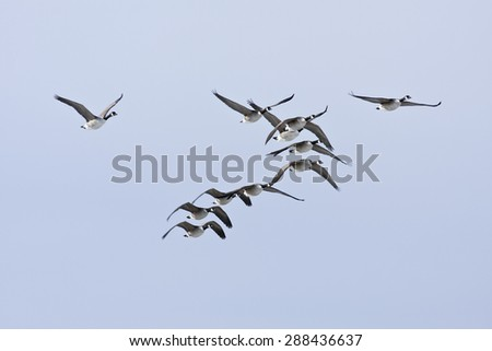 A group, flock of Canadian Geese, Branta canadensis flies on the blue sky. Early morning in spring.