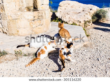 A Group of Alley Cats Happily Enjoy Cat Food Feed by Tourists - stock photo